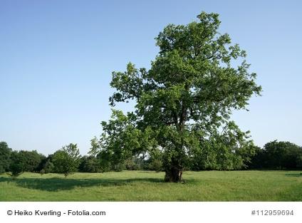 Baum des Jahres Flatterulme